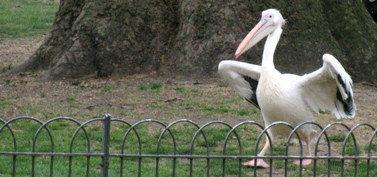 Pelicans - date ideas in St James's