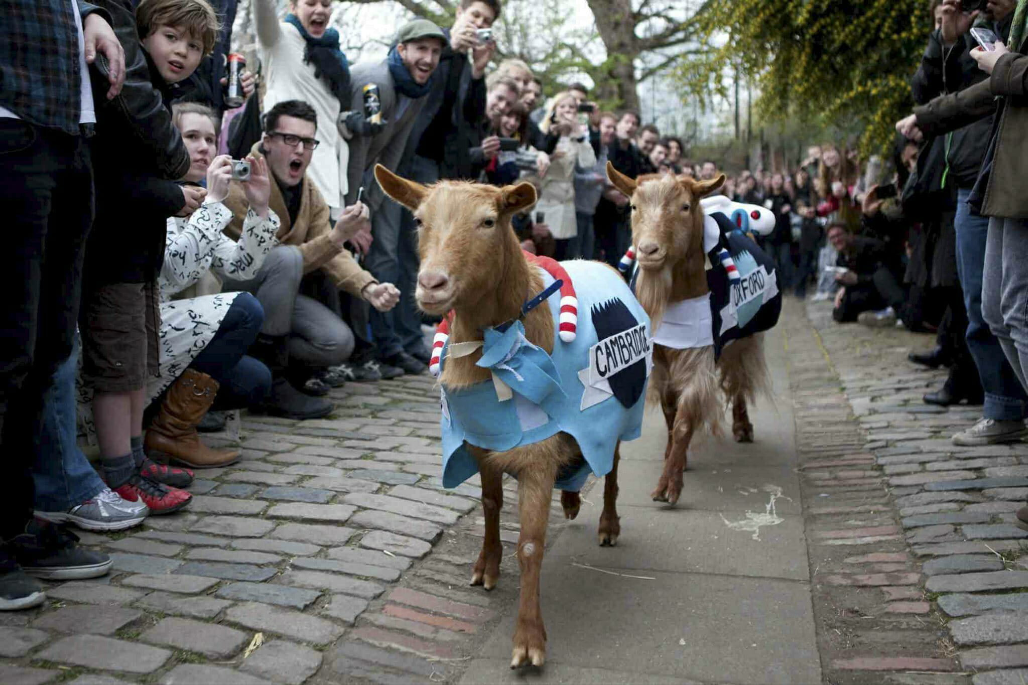 oxford cambridge goat race